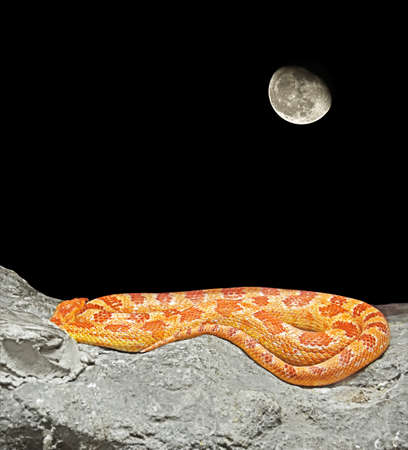 Corn Snake Coiled on The Rock Isolated on Night Scene