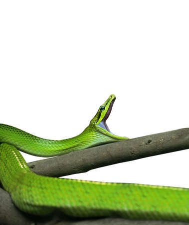 Red-Tailed Green Ratsnake Yawning Isolated on White Background, Clipping Path