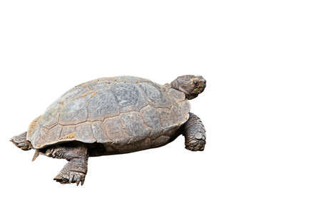 Burmese Mountain Tortoise Isolated on White Background, Clipping Path