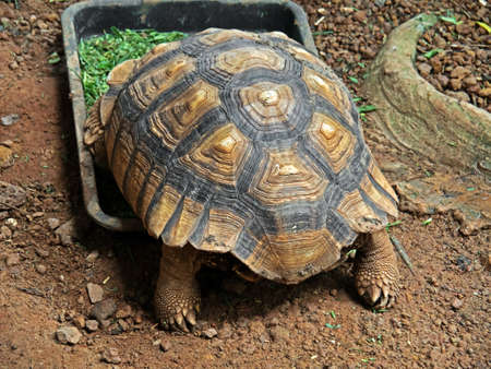 Closeup African Spurred Tortoise or Sulcata Tortoise Eating Food