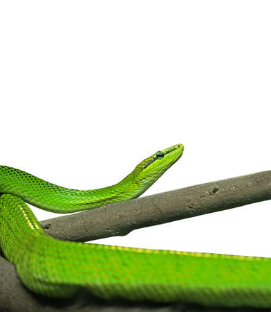 Red-Tailed Green Ratsnake Isolated on White Background Stock Photo