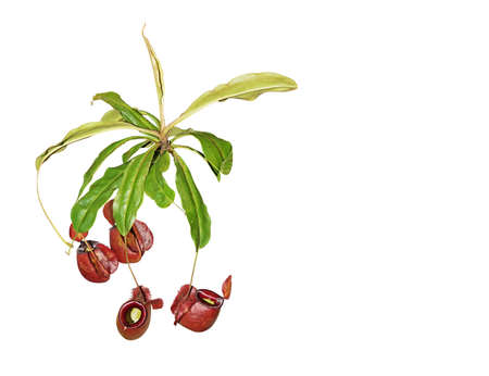 Nepenthes Rajah or Carnivorous Plant Isolated on White Background, Clipping Path