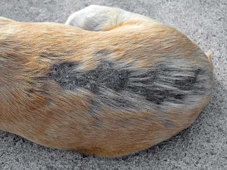Closeup Leprosy Skin Disease on the Back of the Dog Stock Photo