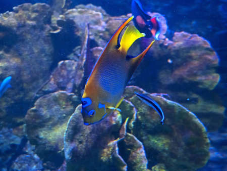 Closeup Queen Angelfish Undersea Isolated on Coral Reef Background Stock Photo
