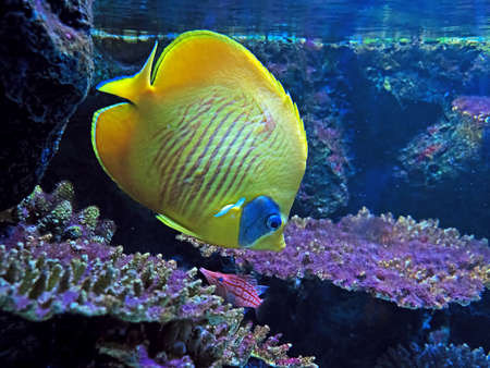 Closeup Yellow Sea Fish with Coral Isolated on Nature Background Banco de Imagens