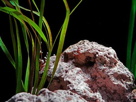 Closeup Underwater Scene of Aquarium with Sexy Shrimp and Seaweed Stock Photo