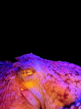 Closeup Colorful Giant Pacific Octopus Isolated on Black Background