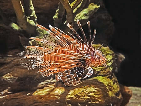 Closeup Red Lionfish or Pterois Volitans Isolated on Nature Background Stock Photo