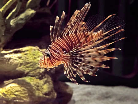 Closeup Red Lionfish or Pterois Volitans Isolated on Nature Background Standard-Bild