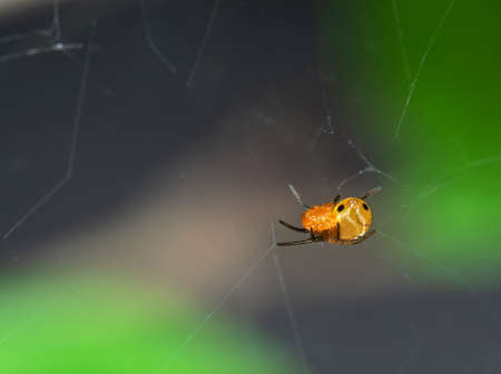 Closeup Orange Spider on Web Isolated on Blurry Background Stock Photo