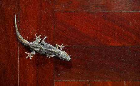 Closeup Dried Common House Gecko on Wooden Floor Stock Photo