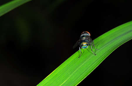 Closeup Blow Fly on Green Leaf Isolated on Black Background