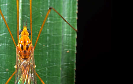 Closeup Head of Orange Crane Fly on Green Leaf with Space for Text