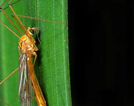 Macro Photography of Orange Crane Fly on Green Leaf with Space for Text