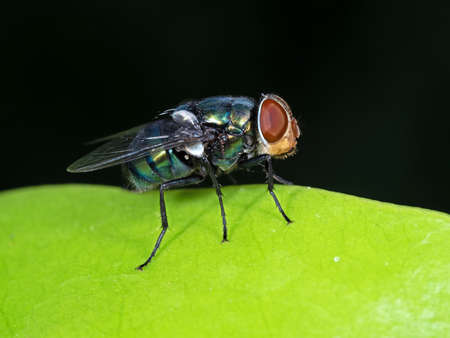 Macro Photography of Blow Fly on Green Leaf Isolated on Black Background