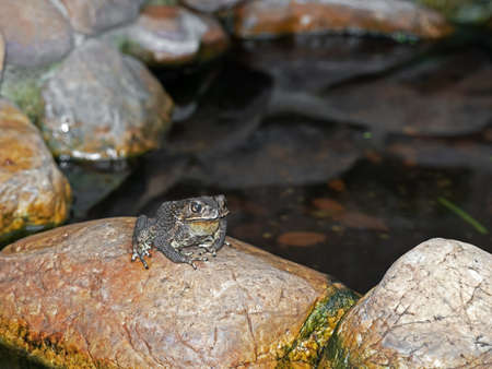 Closeup Asian Common Toad Sitting on a Rock near The Pond