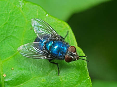 Macro Photography of Blue Bottle Fly on Green Leaf