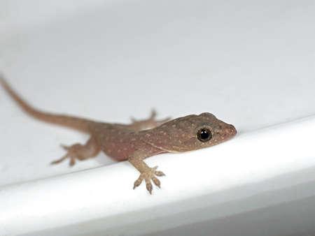 Closeup Baby Common House Gecko on White Floor
