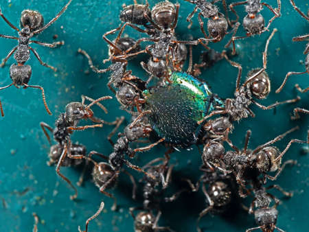 Macro Photography of Group of Black Garden Ants Transporting Food