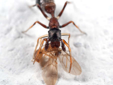 Macro Photography of Ant Mimic Jumping Spider Biting on Torso of Prey on White Floor Stock fotó