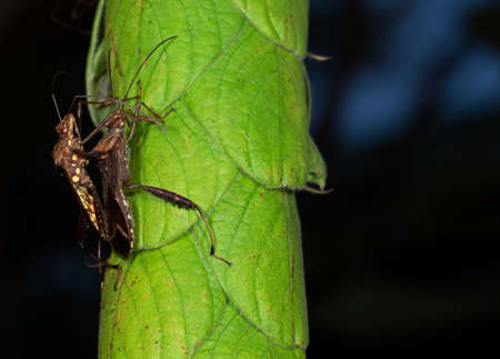 Macro Photography of Two Brown Insects Having Sex on Green Leaf Stock Photo