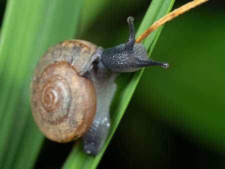 Closeup Land Snail on Blade of Grass Stock Photo