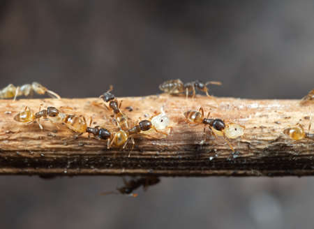 Macro Photography of Group of Tiny Ants Carrying Pupae and Running on Stick, Teamwork Concept