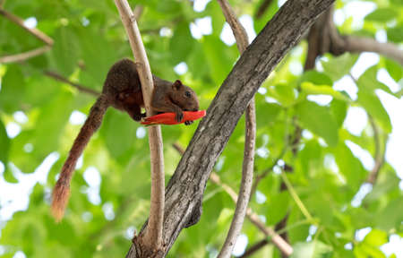 Closeup Squirrel Eating Red Flower Bud on a Tree Branch