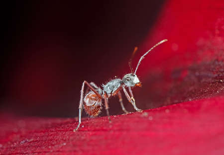 Macro Photography of Tiny Ant on Red Petal of Flower