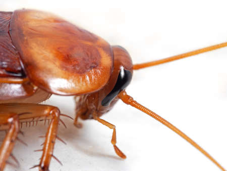 Macro Photography of Cockroach Isolated on White Background Stock Photo