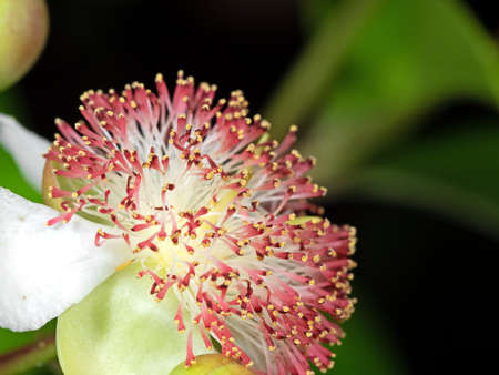 Closeup Tetracera indica Flower with Green Buds Isolated on Nature Background, Selective Focus Stock Photo