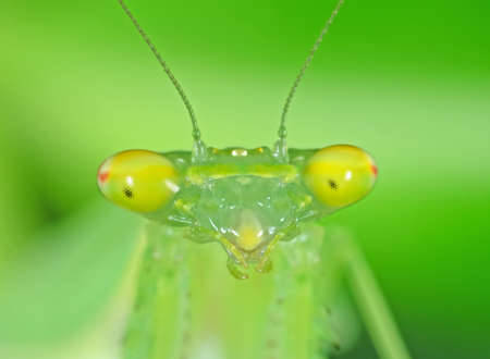Closeup Face of Praying Mantis Isolated on Nature Background Stock Photo