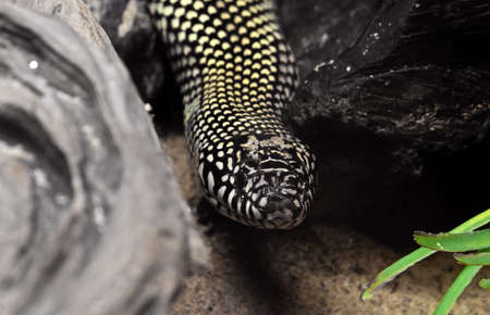 Closeup Desert Kingsnake or Lampropeltis Getula Splendida on Nature Background