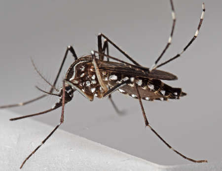 Macro Photography of Yellow Fever Mosquito Isolated on Background Stock Photo