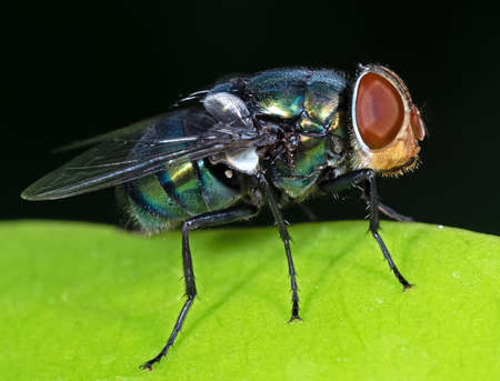 Macro Photography of Blowfly on Green Leaf Isolated on Black Background Stock Photo
