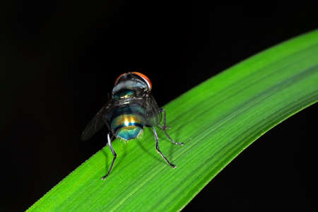Macro Photography of Blowfly on Green Leaf Isolated on Background, Selective Focus