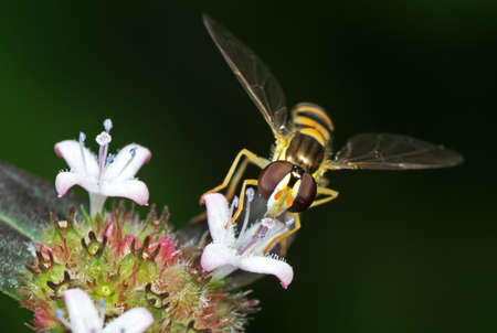 Macro Photography of Hoverfly Sucking Nectar from Flower Isolated on Blurry Background