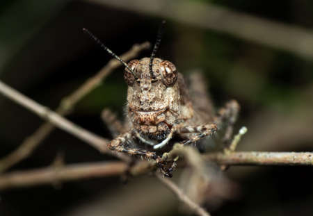 Macro Photography of Brown Grasshopper Camouflage on Twig Imagens