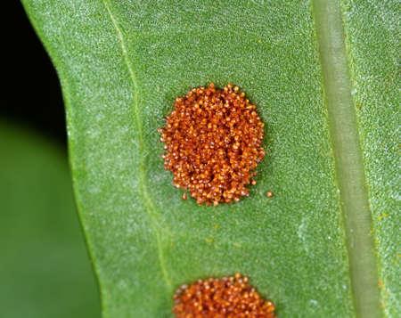 Macro Photography of Fern Spores on Leaves Standard-Bild