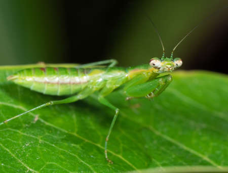 Macro Photography of Praying Mantis Camouflage on Green Leaf, Selective Focus at Head Imagens - 116062608