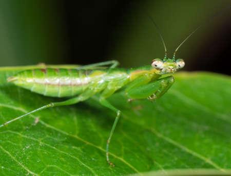 Macrofotografie van Praying Mantis Camouflage op groen blad, selectieve focus op hoofd Stockfoto