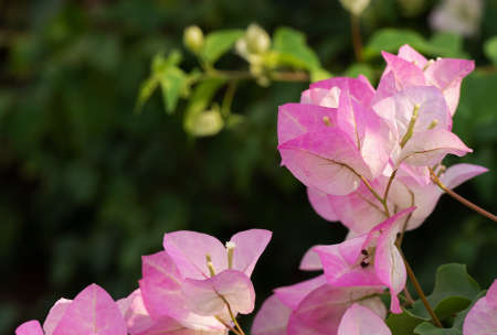 Closeup Group of Pink Bougainvillea Flowers Isolated on Blurry Background
