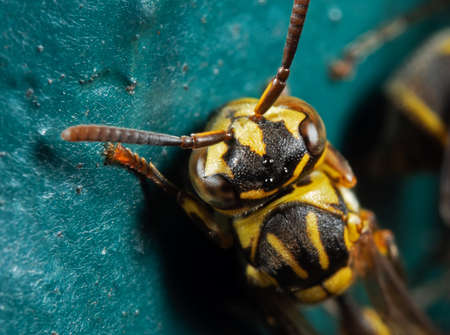 Macro Photography of Head of Wasp on Turquoise Floor Stock Photo