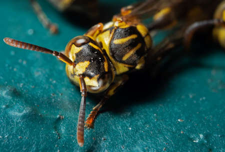 Macro Photography of Wasp on Turquoise Floor Stock Photo
