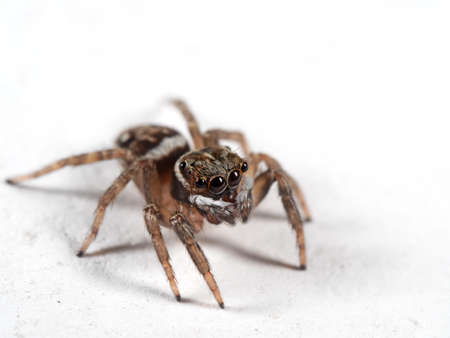 Macro Photography of Jumping Spider Isolated on White Floor