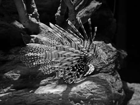 Closeup Red Lionfish or Pterois Volitans Isolated on Nature Background, Black and White