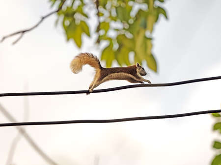 Closeup Squirrel Running on Electric Wire Isolated on Background 版權商用圖片