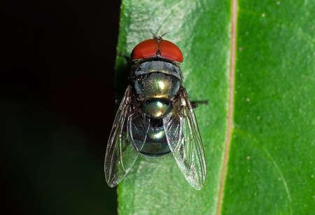 Macro Photography of Blowfly on Green Leaf Zdjęcie Seryjne