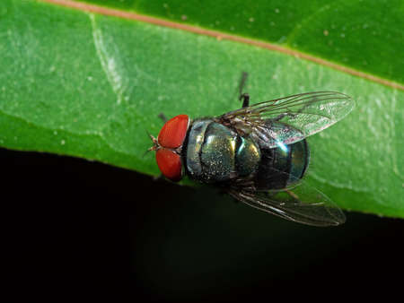 Macro Photography of Blowfly on Green Leaf