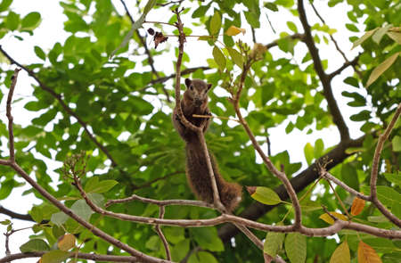 Closeup Squirrel on a Tree Branch Isolated on Background 版權商用圖片
